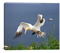 Northern Gannet landing on a cliff, Canvas Print