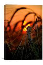 A single stalk of wheat, Canvas Print