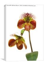 Slipper Orchid, Canvas Print