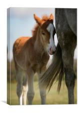 New Forest foal and mother, Canvas Print