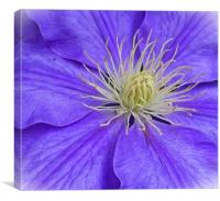 CLEMATIS                , Canvas Print