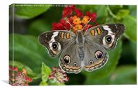 Common Buckeye Butterfly, Canvas Print