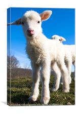 Curious Day Old Lambs, Canvas Print