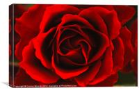 Red Rose Close up, Canvas Print