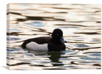 Tufted Duck, Canvas Print