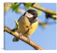 Great tit resting in the sun, Canvas Print