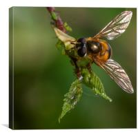 Hoverfly & Aphids, Canvas Print