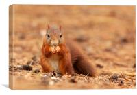 Red Squirrel hunting , Canvas Print
