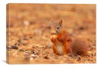 Red squirrel having a bite to eat, Canvas Print