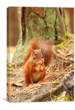 Formby Red Squirrel, Canvas Print