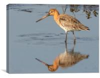 Black tailed godwit, Canvas Print