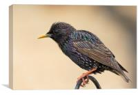 Colourful starling, Canvas Print