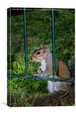 Cute little grey squirrel leaning on a fence, Canvas Print