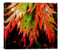 Raindrops on red acer leaves, Canvas Print