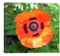 Red poppy, Canvas Print