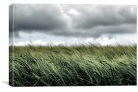 A field of young wheat, Canvas Print
