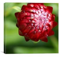 Red flower bud, Canvas Print