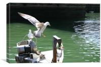 young seagull, Canvas Print