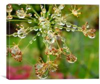 Fennel seed head with raindrops., Canvas Print