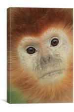 eastern javan langur in gold, Canvas Print