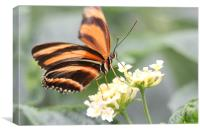 butterfly feeding, Canvas Print