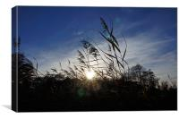 Reeds in the Winter Sun, Canvas Print