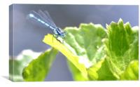 Blue dragonfly, Canvas Print