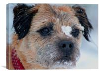 Border terrier snow, Canvas Print