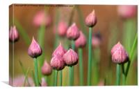 Budding Chives, Canvas Print