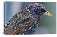 Starling Colours, Canvas Print