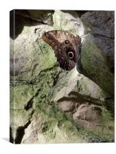 Rock Climbing Butterfly, Canvas Print