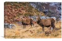 Strathfarrer Stags, Canvas Print