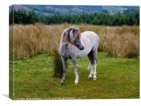 Welsh Mountain Pony, Canvas Print