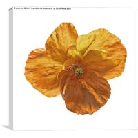 Poppy flower head., Canvas Print