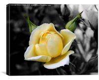 The Yellow Friendship Rose, Canvas Print