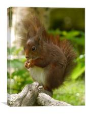 Chubby Red Squirrel, Canvas Print
