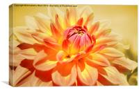 Dahlia in Peach., Canvas Print