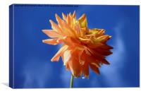 Dahlia Smile., Canvas Print