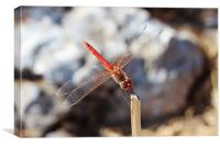 Red Veined Darter Dragonfly, Canvas Print