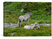 Semi wild ponies, Outer Hebrides, South Uist, Canvas Print