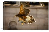 Harris Hawk, Canvas Print