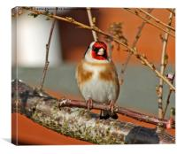 Goldfinch Perched, Canvas Print