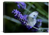 Lavender Butterfly, Canvas Print