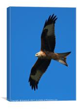 Red Kite 9, Canvas Print