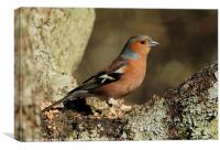 Male Chaffinch 1, Canvas Print