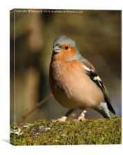 Chaffinch with a mouthful, Canvas Print