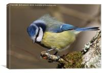 Blue Tit 4, Canvas Print