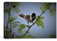 Male Reed Bunting2, Canvas Print