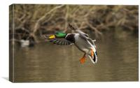 Male Mallard on final approach, Canvas Print