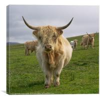 Blonde Highland Cow, Canvas Print